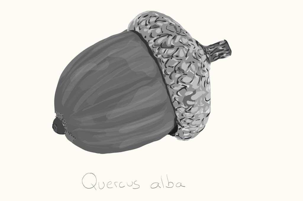 acorn-big